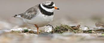 Protected Ringed Plover