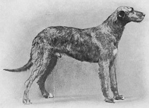 Irish Woolfhound 'Felixstowe Regan,' who was the winner of the Dog CC at Crufts,in 1916.