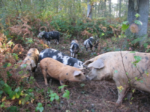 Pigs in woodland